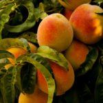 【岡山】蛇口から桃ジュースがでるのはどこ?期間やアクセスや試飲方法を調べてみた!